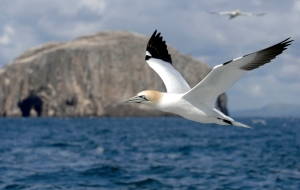 Gannets have started to breed on Bass Rock which is the largest single island gannet colony in the world. 15th April 2008. Picture by JANE BARLOW