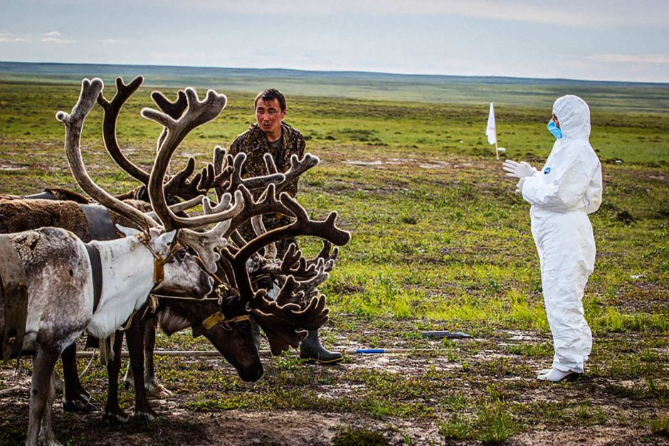 Reindeers receiving a check up in Northern Russia