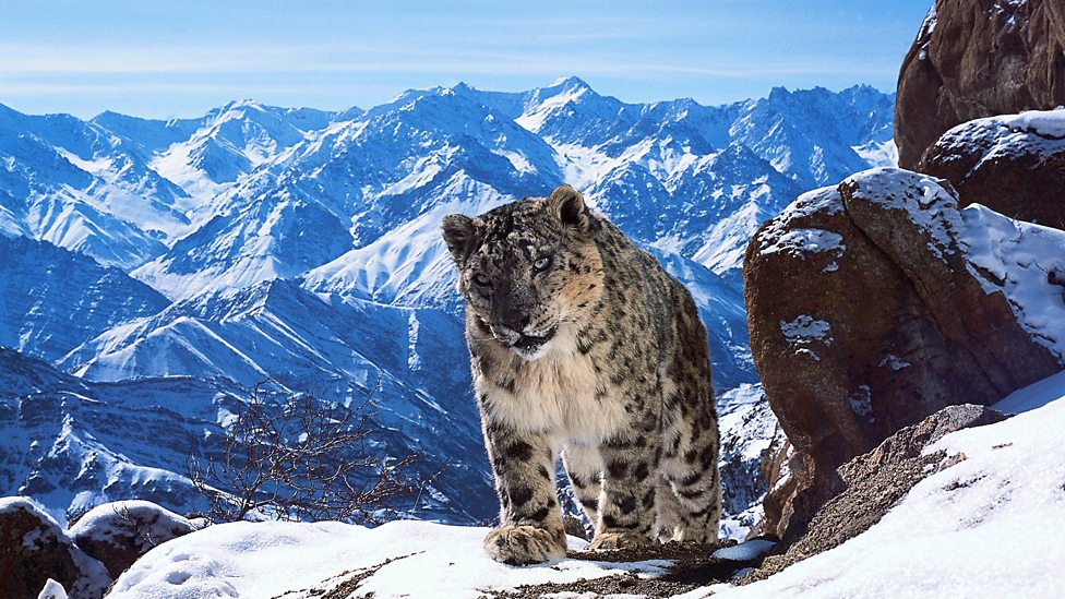 Was Planet Earth 2 a disaster for animals like the snow leopard. (Photo credit BBC)